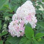 Hortensia - Hydrangea paniculata 'Vanille Fraise'
