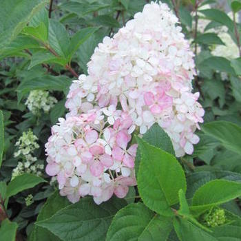 hortensia hydrangea paniculata 39 vanille fraise 39 planten online kopen tuinadvies. Black Bedroom Furniture Sets. Home Design Ideas