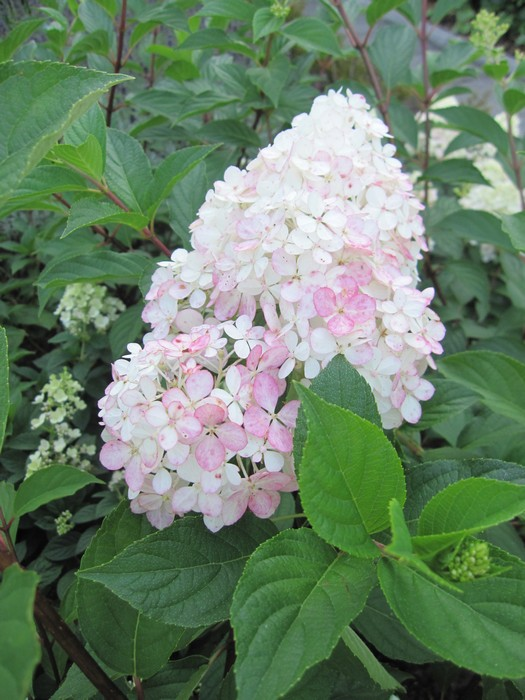 hortensia hydrangea paniculata 39 vanille fraise 39. Black Bedroom Furniture Sets. Home Design Ideas
