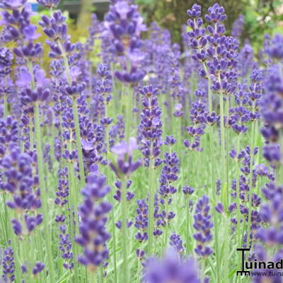lavendel lavandula angustifolia 39 dwarf blue 39. Black Bedroom Furniture Sets. Home Design Ideas