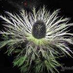 Eryngium alpinum - Eryngium alpinum - Alpendistel