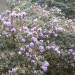 Rhododendron 'Blue Tit' - Dwergrhododendron