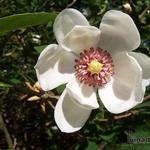 Magnolia sieboldii - Beverboom - Magnolia sieboldii