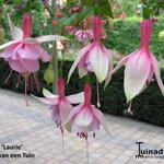 Fuchsia 'Laurie' -