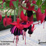 Fuchsia 'La Houtainoise' - Fuchsia 'La Houtainoise' - Bellenplant