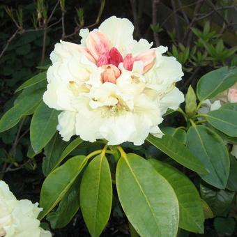 Rhododendron 'Goldfort'