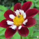 Dahlia 'Mary Evelyn' - Dahlia