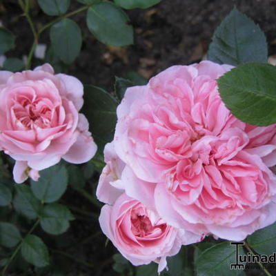 Rosa 'The Faun' - Roos