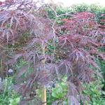 Acer palmatum 'Dissectum' - Japanse esdoorn - Acer palmatum 'Dissectum'