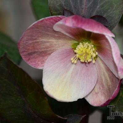 Helleborus 'Pink Frost' -
