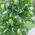 Passiflora edulis - Passiebloem - Passiflora edulis