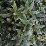 Sarcococca hookeriana var. humilis - Vleesbes - Sarcococca hookeriana var. humilis