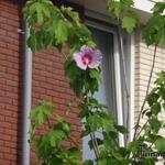 Hibiscus 'Resi' - Hibiscus 'Resi' - Althaeastruik