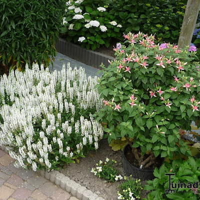 Salvia nemorosa 'Sensation White' -