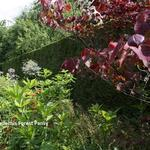 Cercis canadensis 'Forest Pansy' - Amerikaanse judasboom