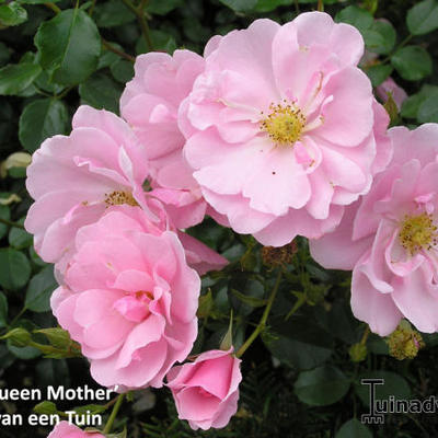Rosa 'Queen Mother' -