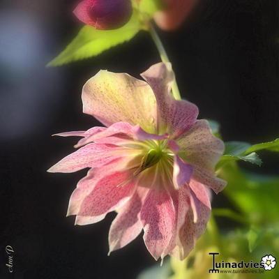 Helleborus x hybridus 'SPRING PROMISE Elly' -