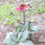Helleborus  'Penny's Pink' - Helleborus  'Penny's Pink' - Nieskruid