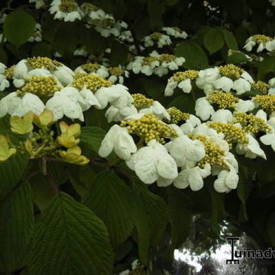 Viburnum plicatum 'Mariesii' -