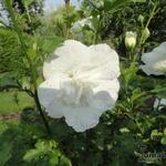 Hibiscus syriacus 'White CHIFFON' - Althaeastruik - Hibiscus syriacus 'White CHIFFON'