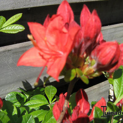Rhododendron 'Carat' -