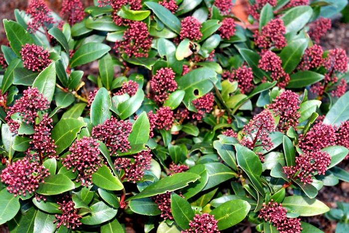 skimmia skimmia japonica 39 rubella 39 planten online kopen. Black Bedroom Furniture Sets. Home Design Ideas