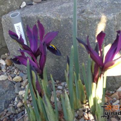 Iris reticulata 'George' -