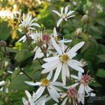 Aster cordifolius 'Silver Spray' - Aster