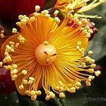 Hypericum 'Magical Beauty' - Hertshooi, Sint-Janskruid