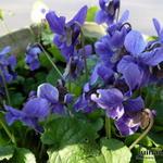 Viola odorata - Maarts viooltje - Viola odorata