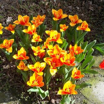 Tulipa kaufmanniana 'Early Harvest'