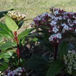 Viburnum tinus 'Spirit' - Sneeuwbal - Viburnum tinus 'Spirit'