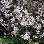 Magnolia  loebneri 'Leonard Messel' - Magnolia  loebneri 'Leonard Messel' - Beverboom