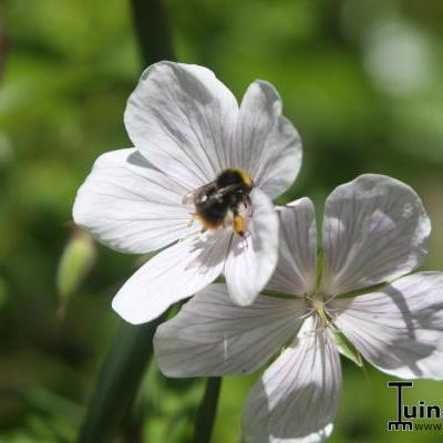 Geranium clarkei -