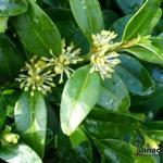 Buxus sempervirens 'Prostrata' - Buxus sempervirens 'Prostrata' - Buxus, boordpalm, palmboompje