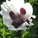 Papaver - Papaver orientale Royal Wedding