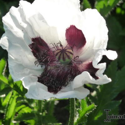 Papaver orientale Royal Wedding - Papaver