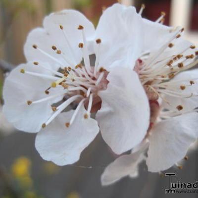 Prunus armeniaca 'Tros Oranje' -