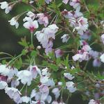 Prunus incisa 'Kojou-no-mai' - Chinese dwergsierkers