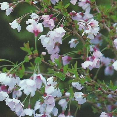 Prunus incisa 'Kojou-no-mai' -
