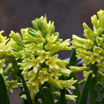 Hyacinthus orientalis 'City of Haarlem' - Hyacinthus orientalis 'City of Haarlem' - Hyacint