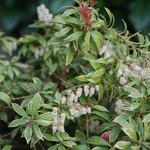 Pieris japonica 'Little Heath' - Rotsheide