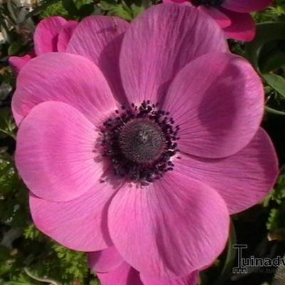 Anemone Coronaria 'Sylphide' -