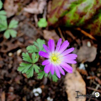 Anemone blanda 'Pink Star' -