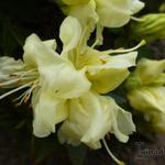 Rhododendron 'Curlew' - Dwergrhododendron, Alpenroos