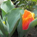 Tulipa 'Flair' - Tulp