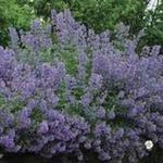 Kattekruid - Nepeta racemosa 'Blue Wonder'