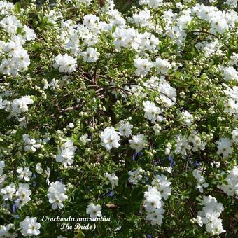 parelstruik exochorda x macrantha 39 the bride 39 planten. Black Bedroom Furniture Sets. Home Design Ideas