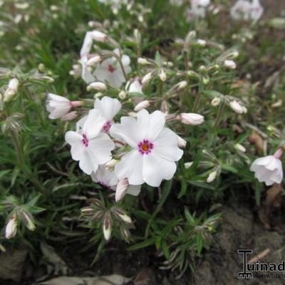 Phlox subulata 'Amazing Grace' -
