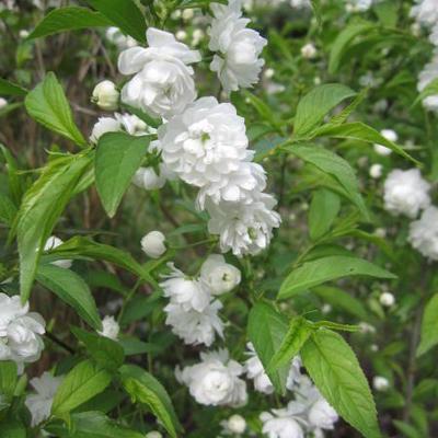 Prunus glandulosa 'Alba Plena'  -